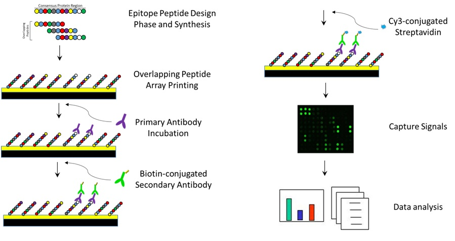 Epitope Mapping Procedure