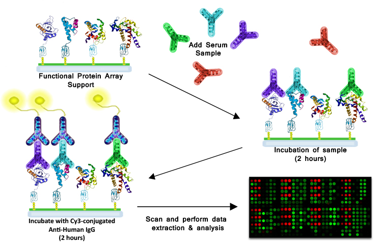 Protein-Antibody Interactions - How it works