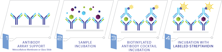 Glass Slide Antibody Array - How it Works