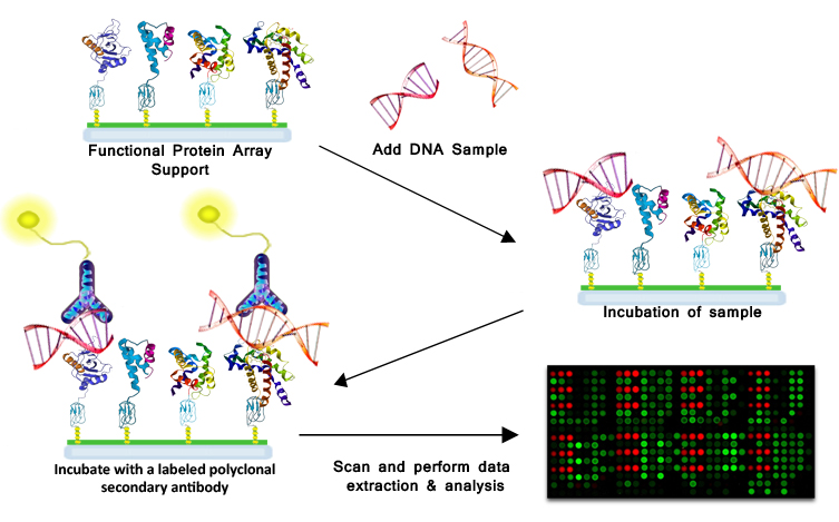 DNA-Protein Interaction - How it works
