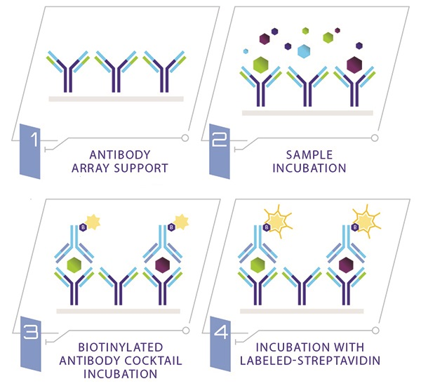 C-Series Antibody Arrays: How it works