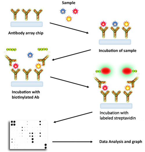 The principle of how a membrane antibody array works