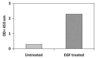 Recombinant-Human-EGF-Stimulation-of-A431-Cell-Lines