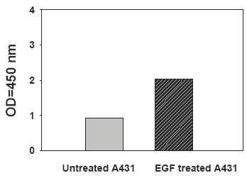 EphB3-Recombinant-Human-EGF-Stimulation-of-A431-Cell-Lines