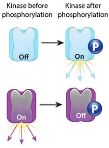 Phosphorylation Array