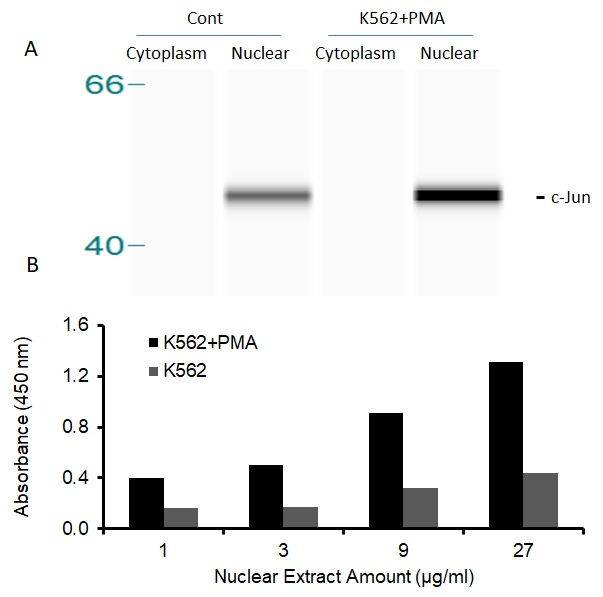 Transcription factor assay of c-JUN from nuclear extracts of K562 cells or K562 cells treated with PMA (50 ng/ml) for 3 hr.