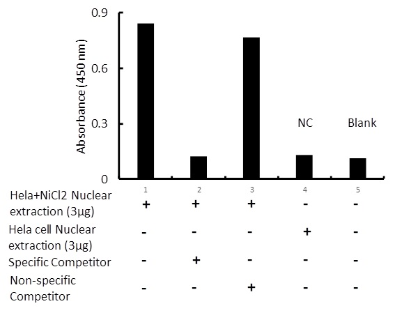 Transcription factor assay of p53 from nuclear extracts of HeLa cells or HeLa cells treated with NiCl2 with the specific competitor or non-specific competitor. The result shows specific binding of p53 to the p53 DNA binding site.