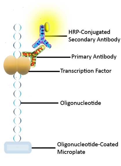 Transcription Factor ELISA Detection