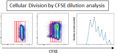 Cell cycle and cell division analysis by CFSE, BrdU, and other division dyes