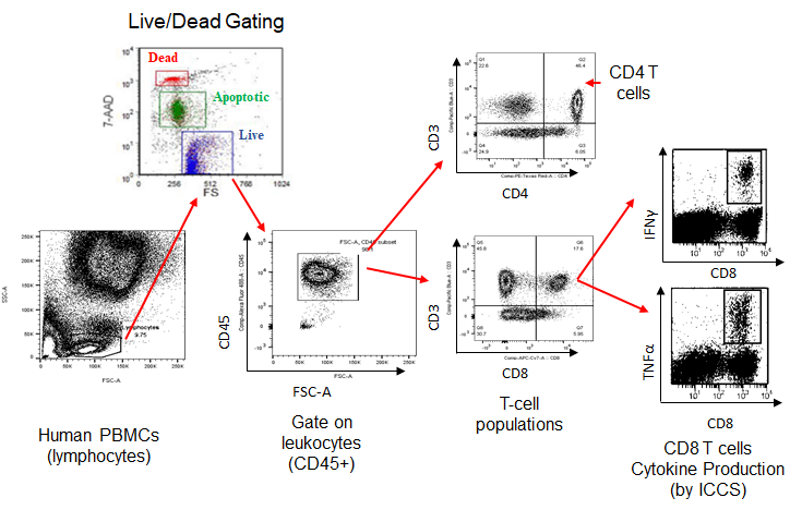 Characterize and phenotype your population by live/dead, surface, and intracellular cytokine staining.
