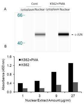 Transcription factor assay of c-JUN from nuclear extracts of K562 cells or K562 cells treated with PMA (50 ng/ml) for 3 hr. A. Western blot of c-Jun from cytoplasmic and nuclear fractions. B. Detection of c-Jun from nuclear fractions with the RayBio® Activity Assay Kit.