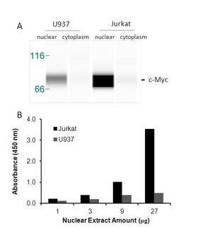Transcription factor assay of c-Myc from nuclear extracts of Jurkat cells or U937 cells. A. Western-blot result of c-Myc from cytoplasm and nuclear fractions. B. Transcription factor assay of c-Myc from nuclear fractions with the RayBio® c-Myc TF Activity Assay.