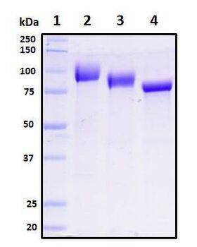 Figure 1. Deglycosylation of purified recombinant proteins. Purified proteins were untreated (Lane 2) or treated with Protein Deglycosylation Kit under native (Lane 3) or reducing (Lane 4) conditions. Deglycosylation treatment resulted in a mobility shift of the protein to produce one major band at the expected size, thus indicating that the untreated recombinant protein (Lane 2) was glycosylated.