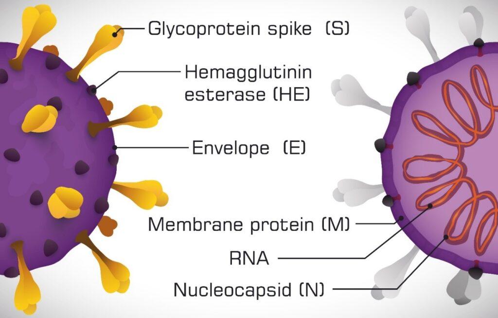 The SARS-CoV-2 Life Cycle